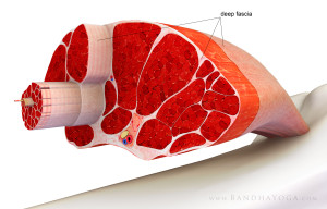 fascia_muscle