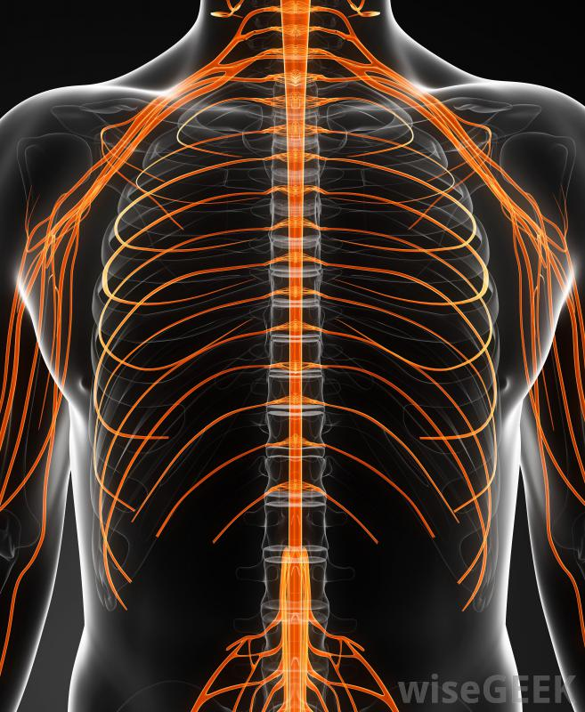 nerves-in-thoracic-region