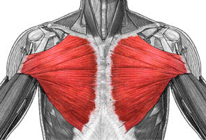 大胸筋の説明