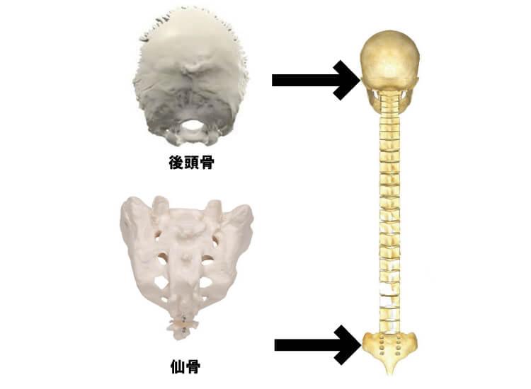 後頭骨と仙骨の位置関係